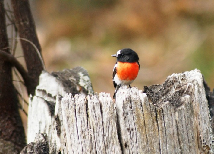 Male Scarlet Robin stands out whever it is