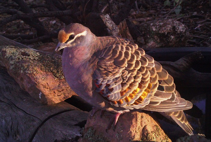 Male Bronzewing
