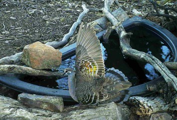 Male Bronzewing display