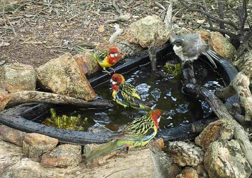 Eastern Rosella and Noisy Friarbird