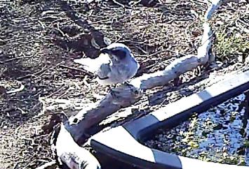 Black-faced Cuckoo-shrike immature (2)