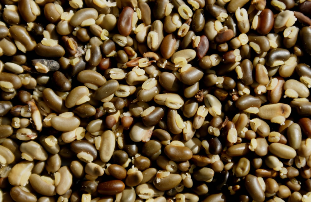 Hardenbergia comptoniasa 8 seeds